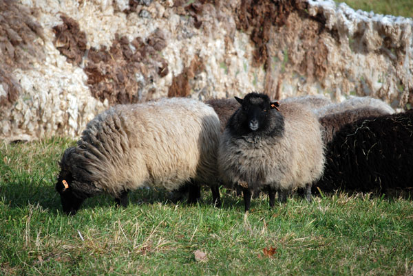 walled-in-sheep-in-.jpg