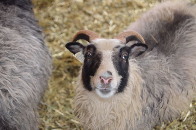 Icelandic sheep from Shakeyground Farm in Charlotte, VT