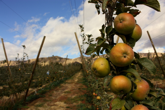 Harmony Orchard's Newton Pippin Apples