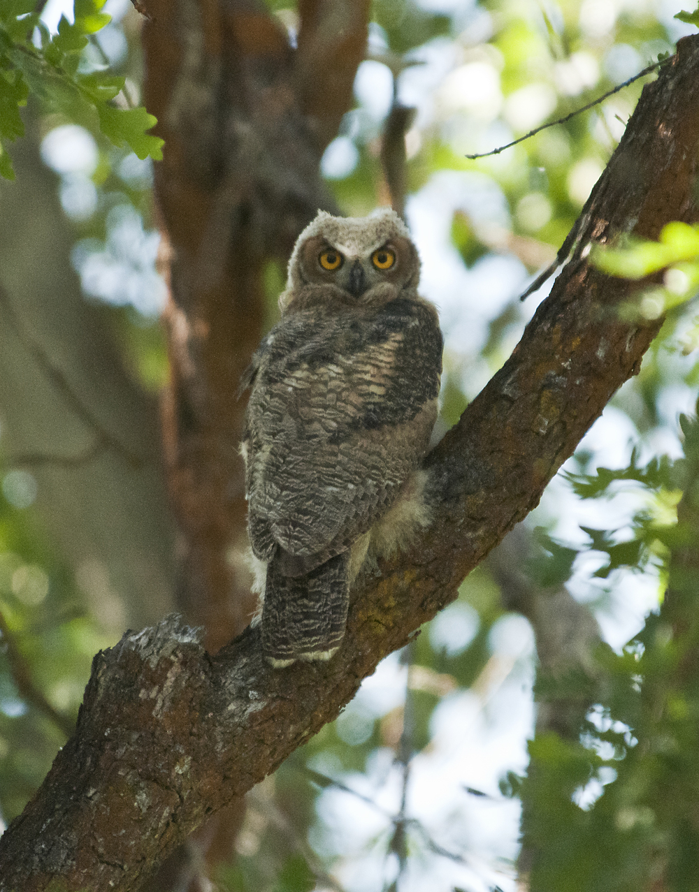 Juvenile Great Horned Owl