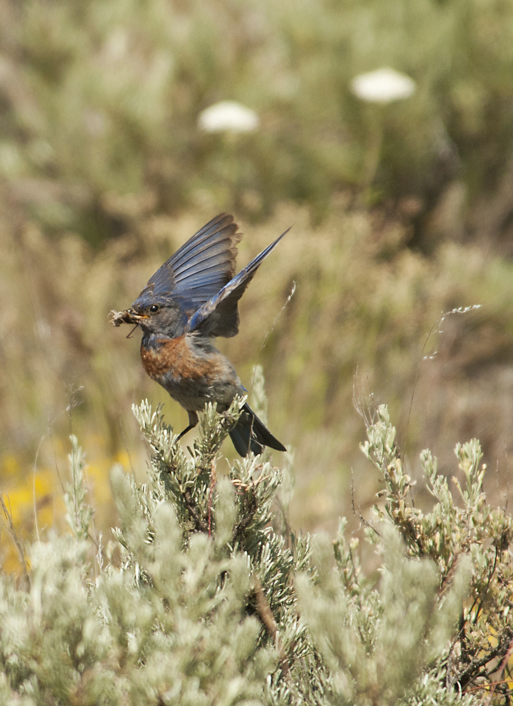 Male Western Bluebird Landing with Insect