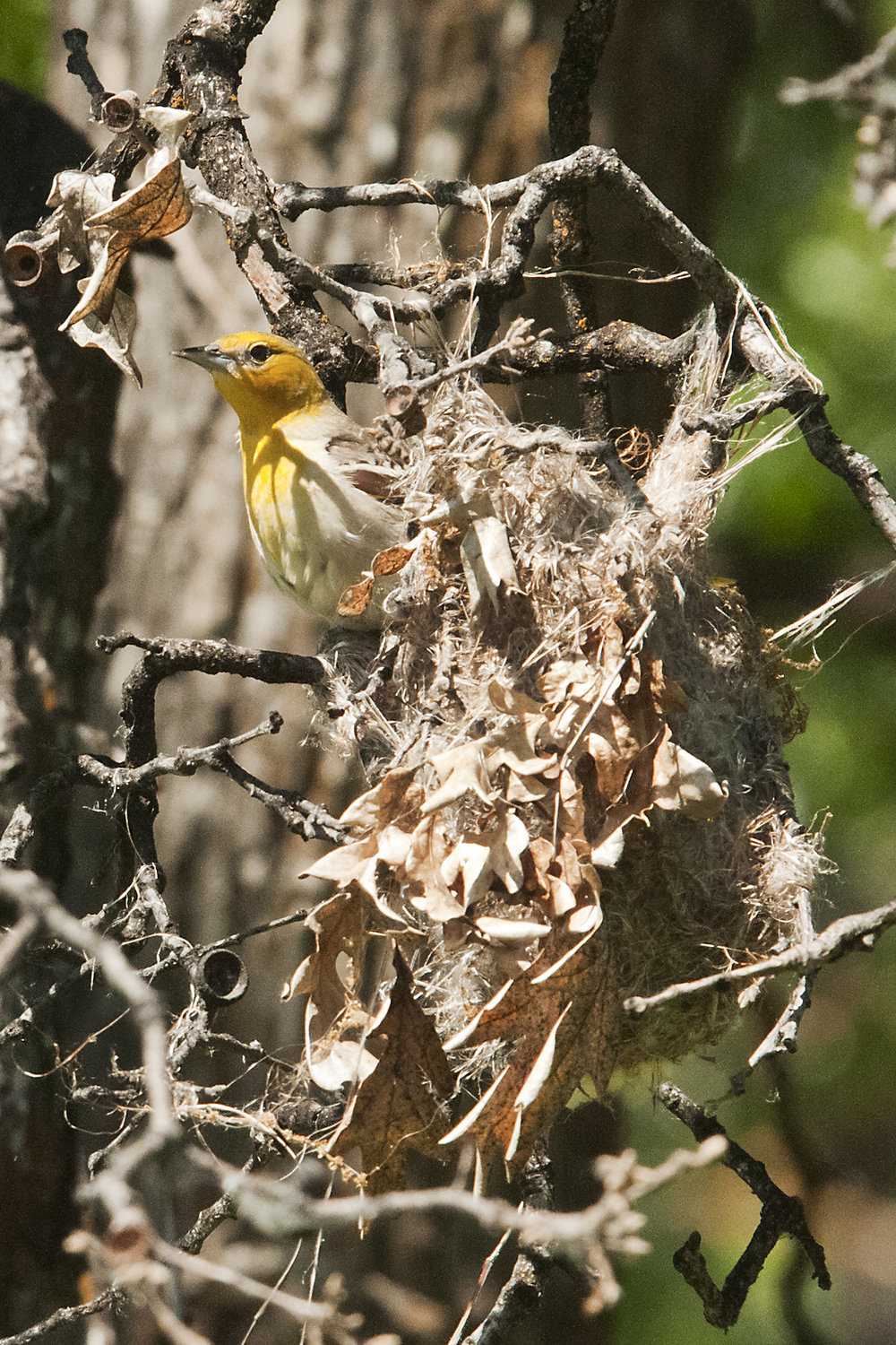 Female Bullock's Oriole in Nest