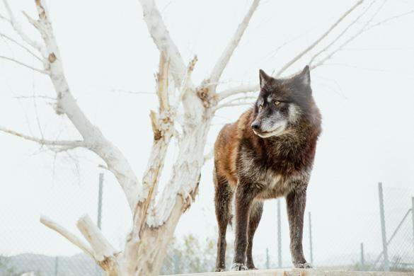 WOLF ALPHA.jpg