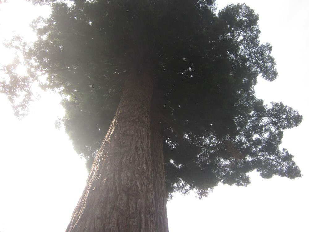 Berkeley Redwood.JPG