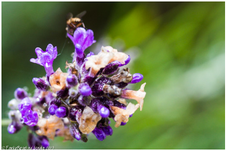 lavendar bee.jpg