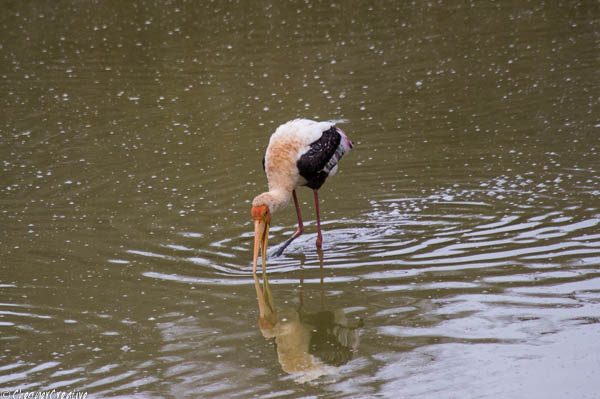 Painted Stork at Bandipur