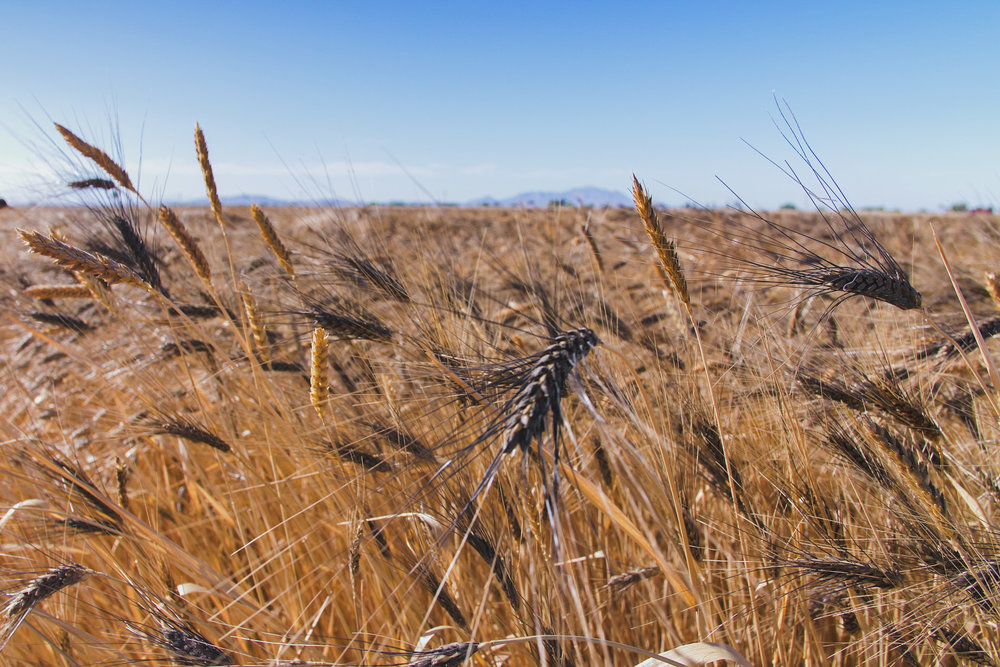 a field of Blue Beard Durum wheat