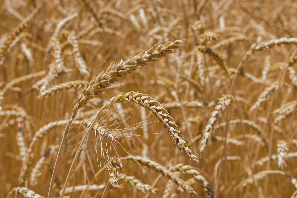 golden Red Fife wheat