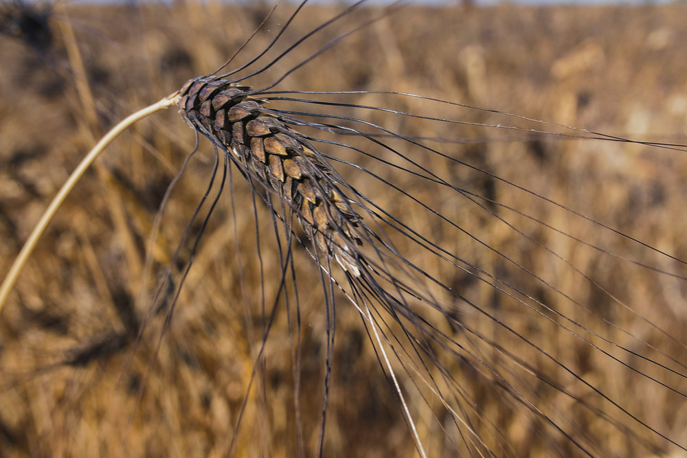 deep blue awns (the wheat beard) give this durum its name
