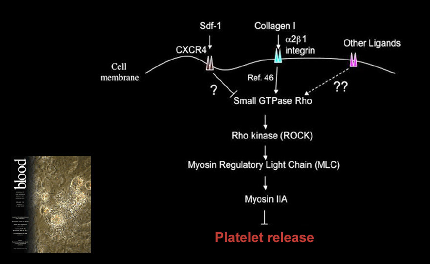 Proplatelet regulation model