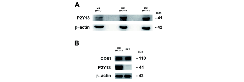 Figure 1: Analysis of P2Y13 protein expression in human megakaryocytes in culture and in human platelets. CD61+ human megakaryocytes or washed human platelts were lysed and subjected to western blot analysis. A) P2Y13 receptor expression in human megakaryocytes at different days of culture. B) Expression of CD61 and P2Y13 in human megakaryocytes at day 13 of culture and washed human platelets. The membrane were reprobed with anti–b-actin to ensure equal loading (representative of 3 different experiments).