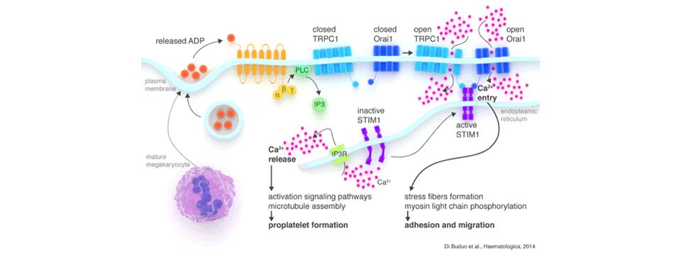 Figure 2 : Di Buduo et al., Heamatologica 2014