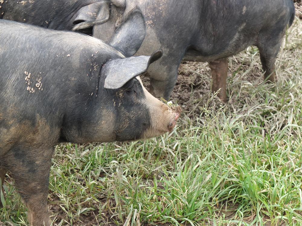 Pigs-LiveSpringsFarm.jpg