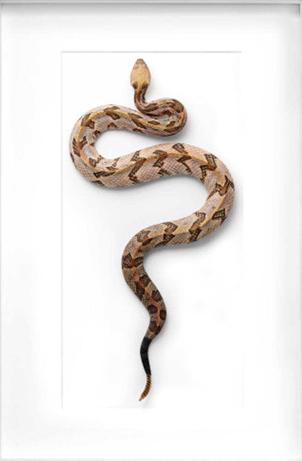 Canebrake Rattlesnake  by Christopher Marley
