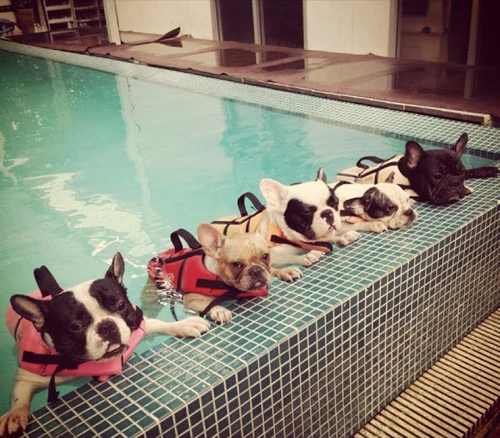 dogs-frenchbulldogs.jpg
