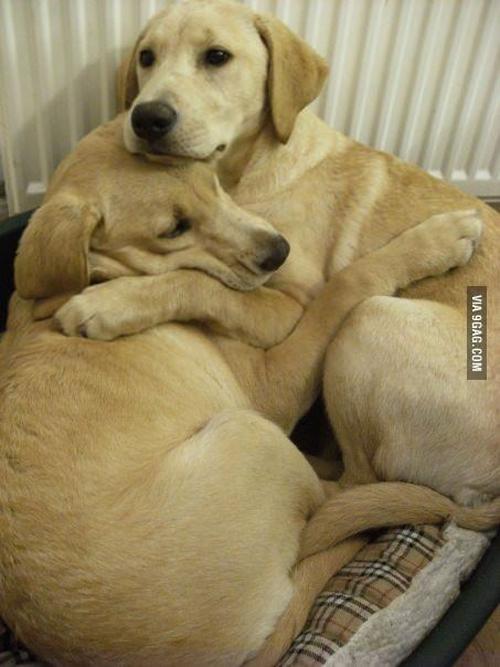 Dogs-Labradors.jpg
