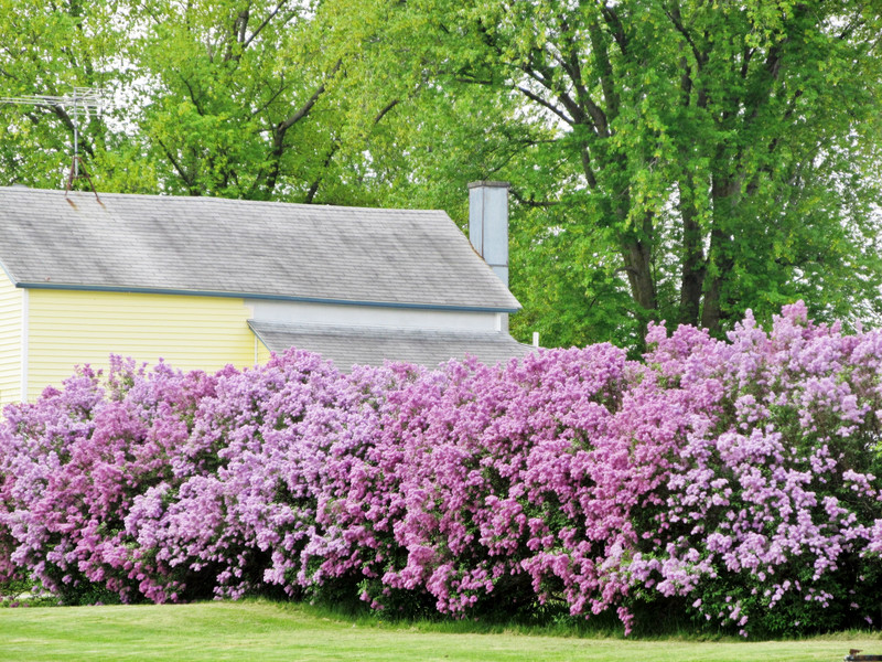 lilac hedge source unknown