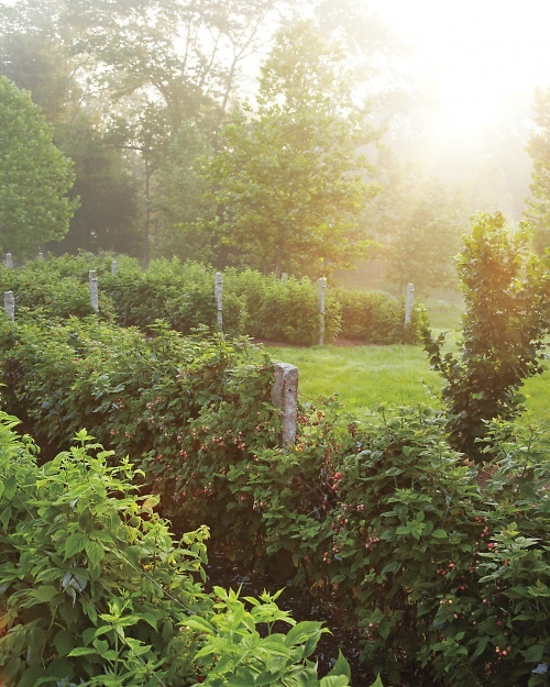 raspberry bushes via Martha Stewart