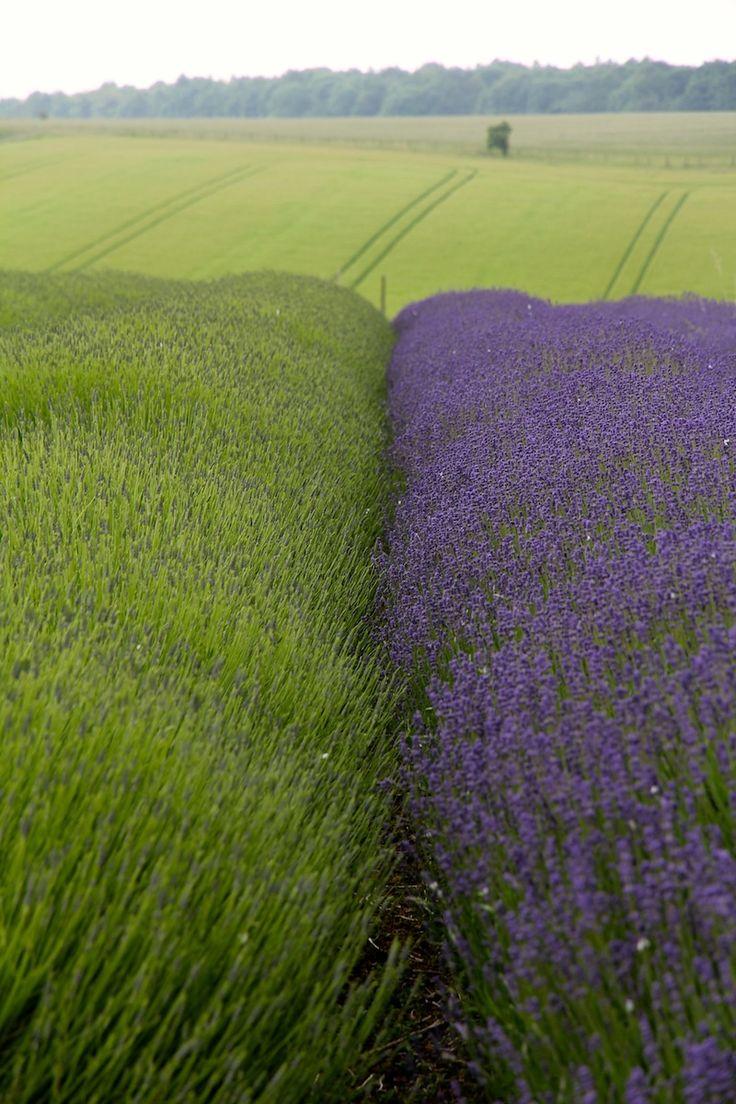 garden-pinners-hendy-curzon-lavender.jpg