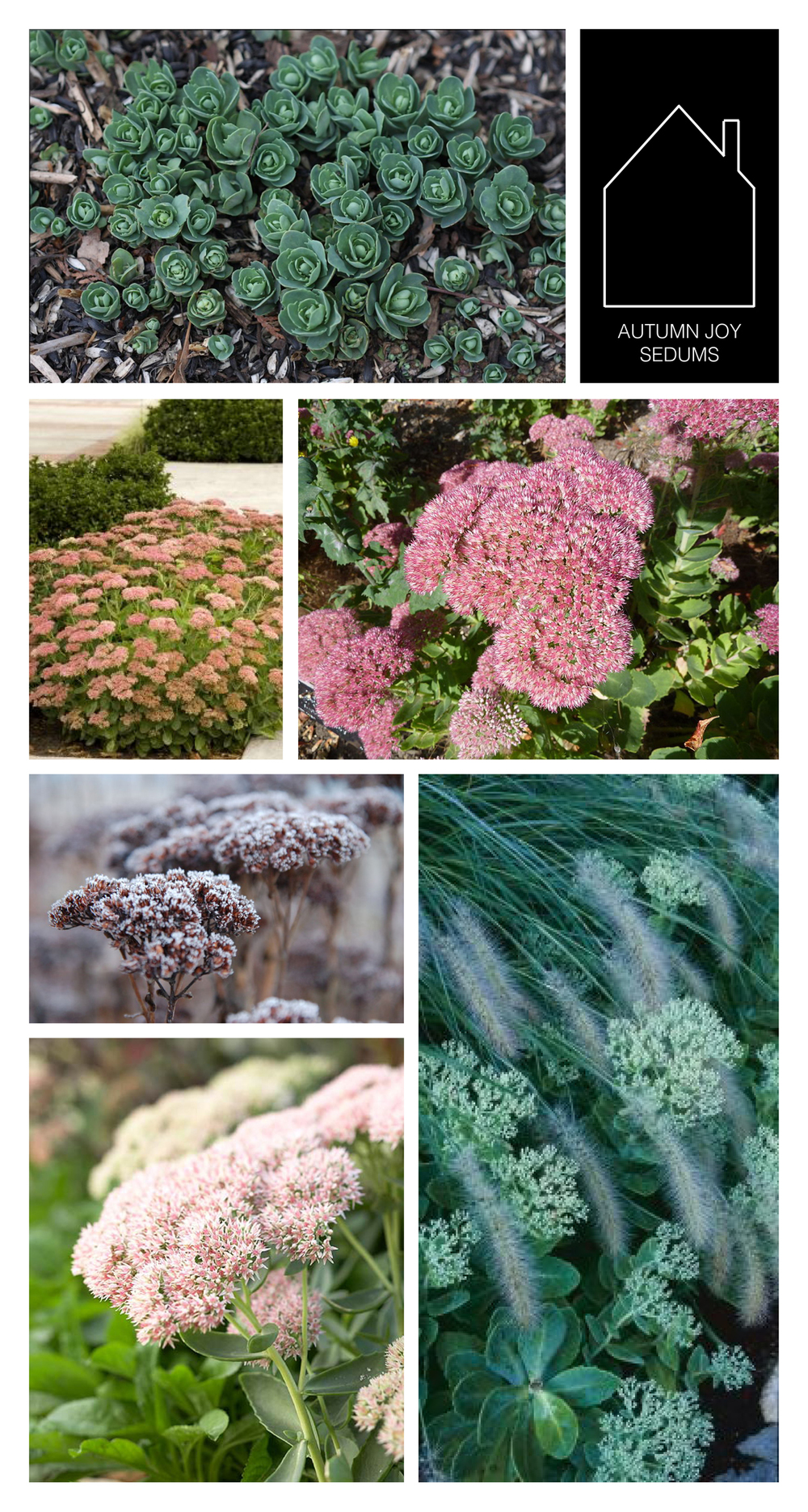 from top left - autumn joy sedums in spring via Stephi Gardens - via Monrovia - via Wikimedia - via Ledge & Garden - via Fine Gardening - via BHG