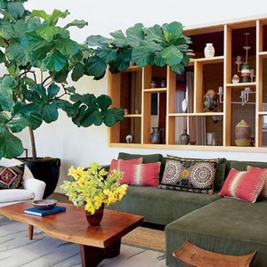 fiddle leaf fig | 8.6.2013