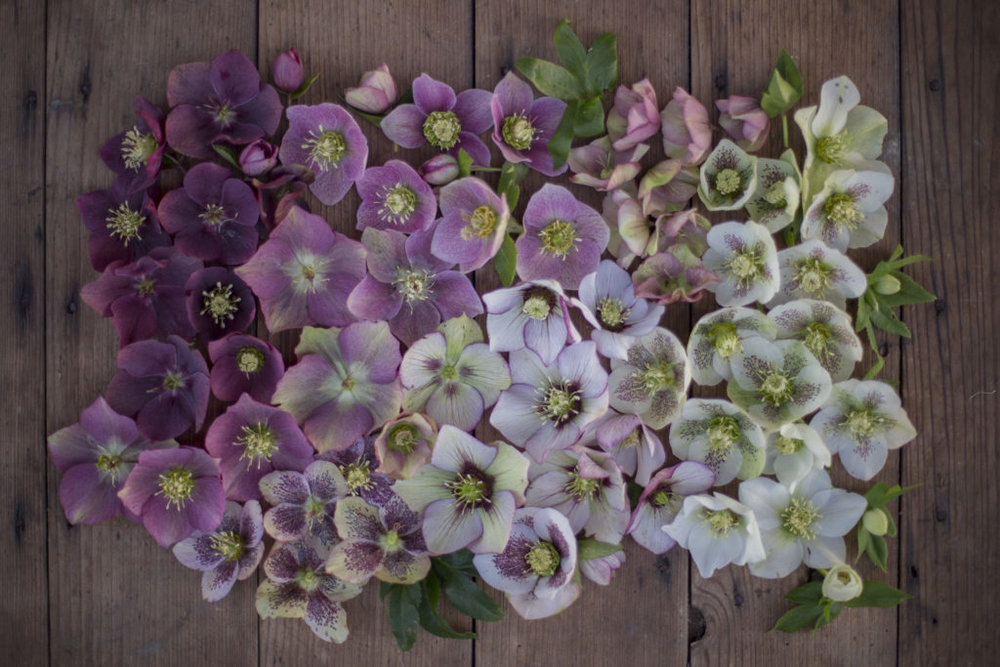 first flower feature: hellebores | 6.22.2015
