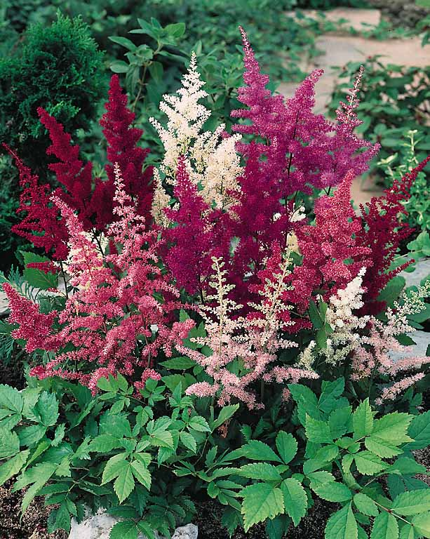 flower feature: astilbes | 7.6.2015