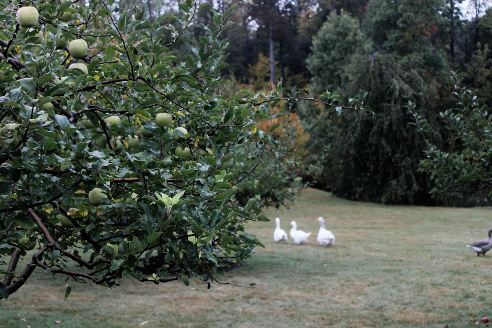 Apple Orchard on the property