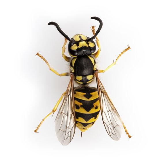 Buzz, buzz, buzz. Sting, sting, sting. Bite, bite, bite. Fun.