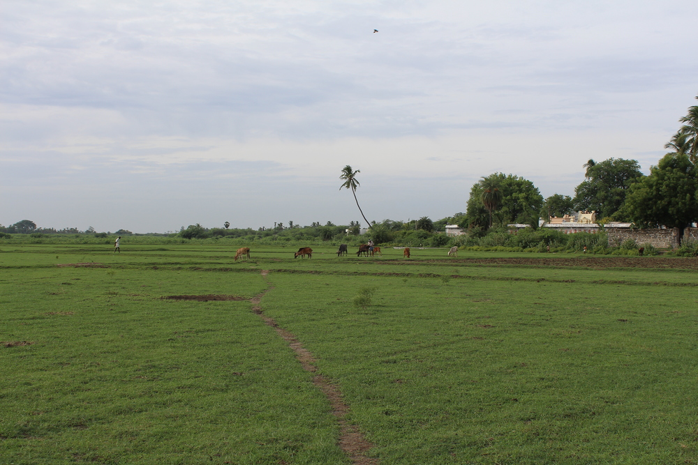 Figure 22- Paddy fields surrounding Thiruvalesvara Temple, Arpakkam, Chola, ca. 11th century CE, Granite, From north