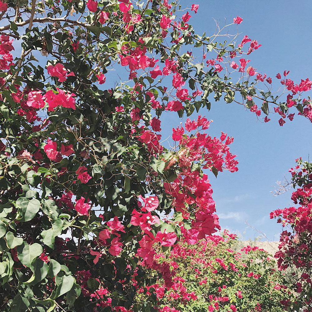 The prettiest bougainvillea on the grounds of Korakia