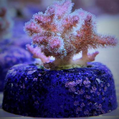 KoralSea 2.jpg