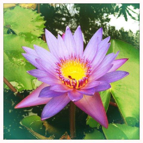 Lotus in Aditya's pond