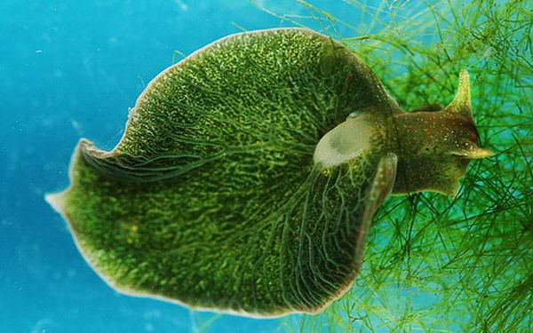 Elysia chlorotica, a solar powered sea slug.