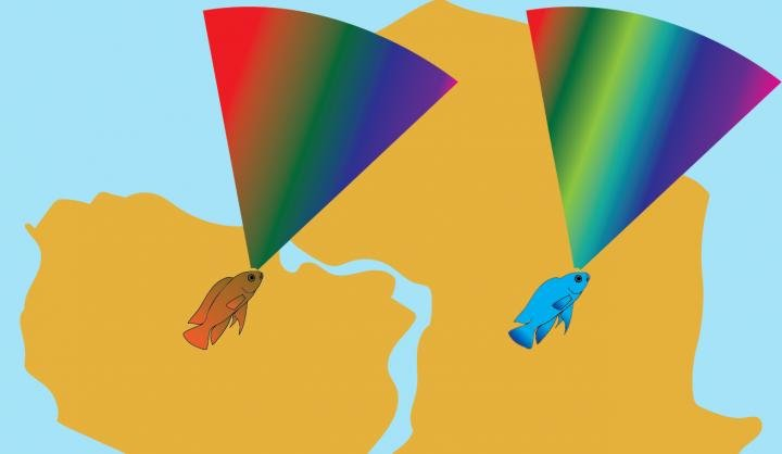 This graphic compares the light spectrum visible to three South American cichlid species (left) with the spectrum visible to many African species (right). South American cichlids have visual systems adapted to the red-shifted light environment of murky Amazonian waters. Credit: Daniel Escobar-Camacho