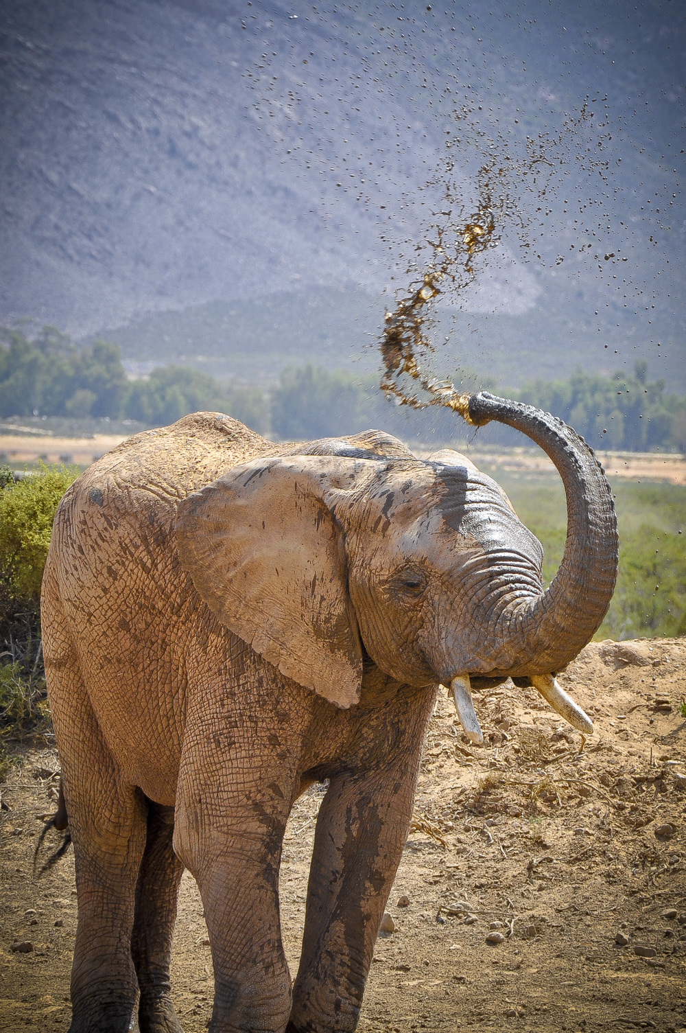 Elephant - Aquila Game Reserve