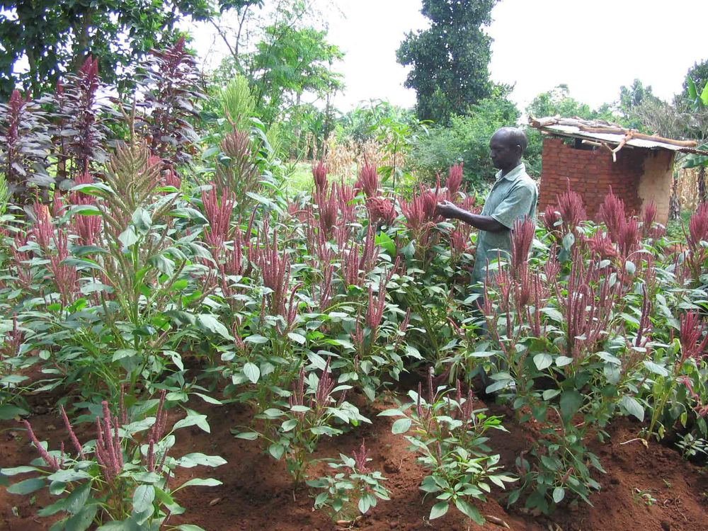 05.amaranth plot_web.jpg