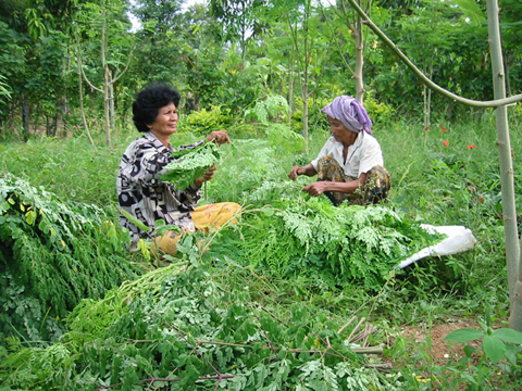 Cambodia.Khmer ladies harvest leaves.Oct05_web.jpg