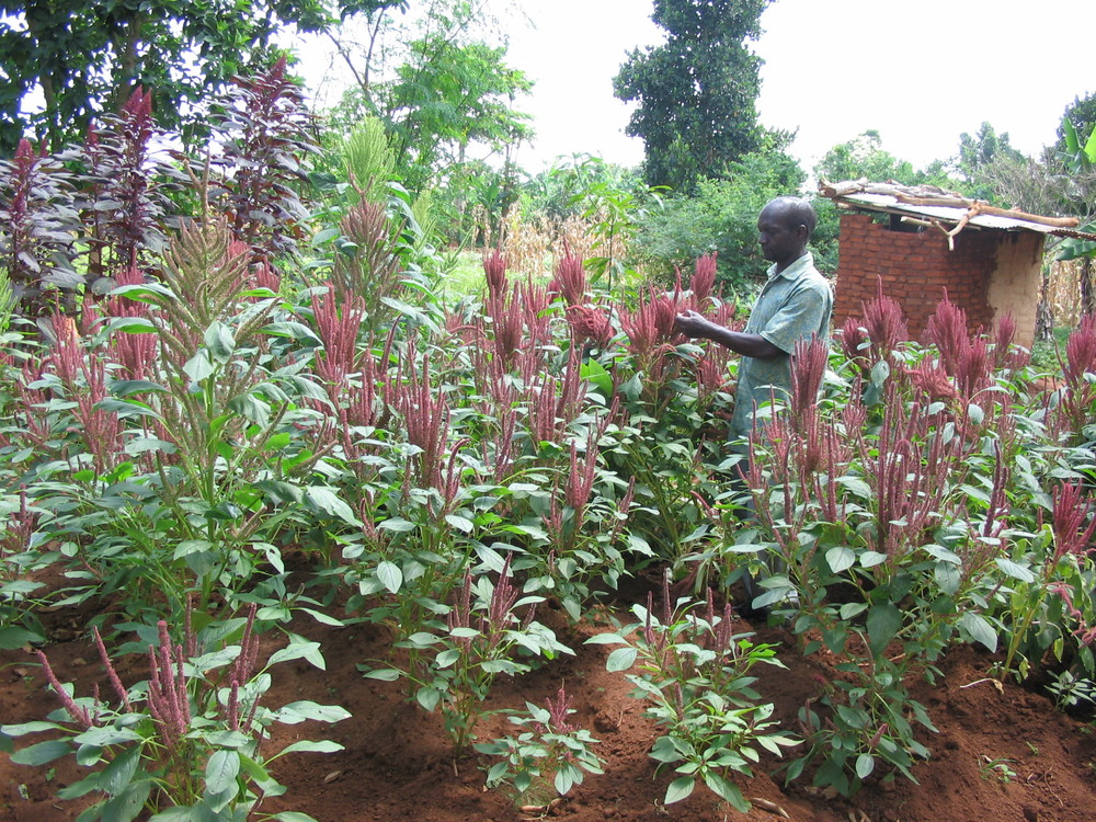 05.amaranth plot.jpg