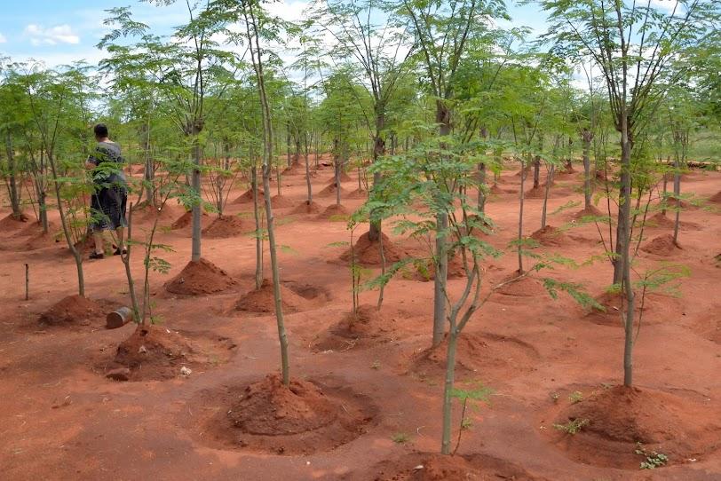 Moringa plantation