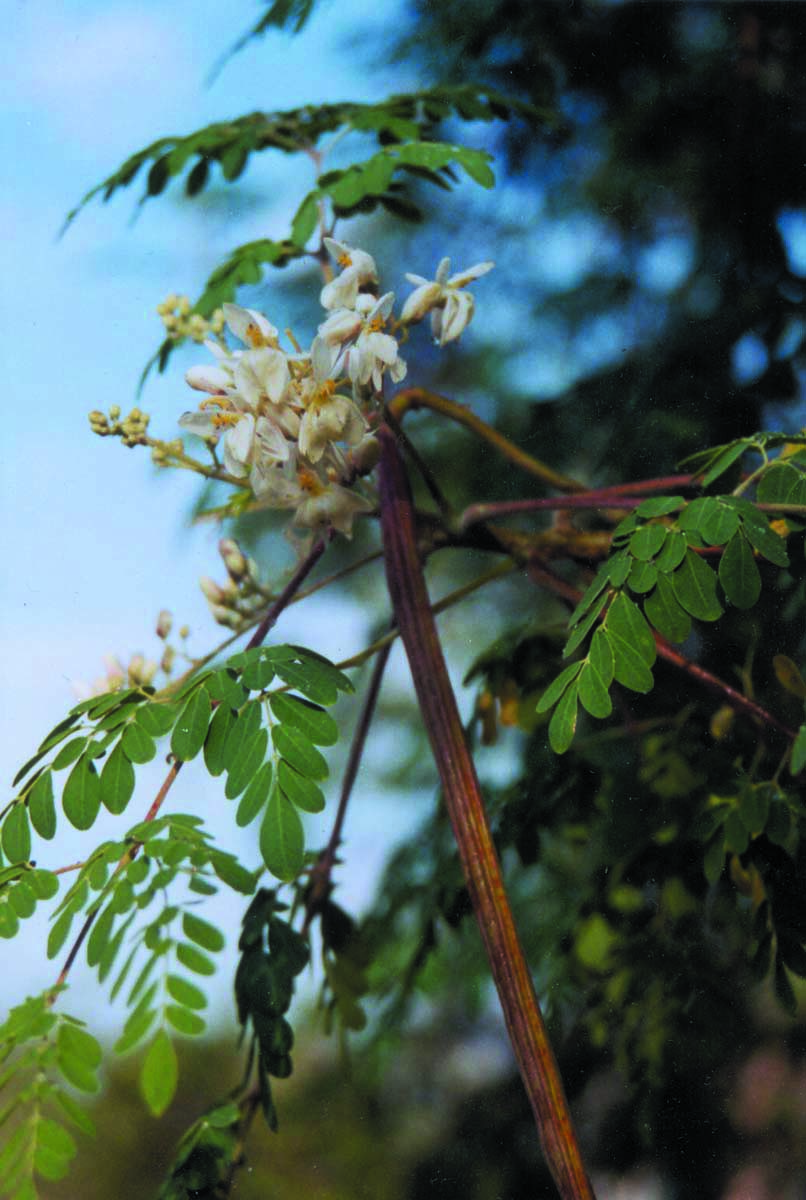 """Moringa blooms and """"drumstick"""" seed pods"""