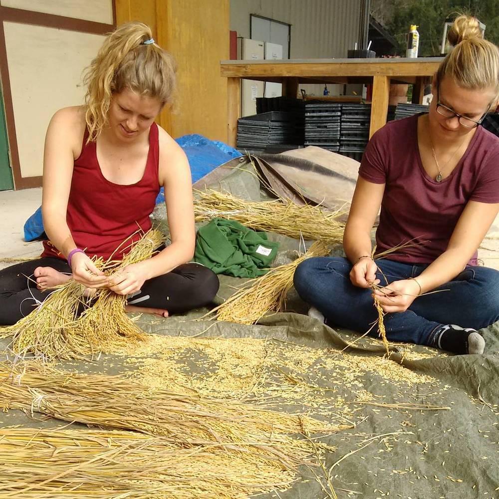 Melissa and Alex threshing rice