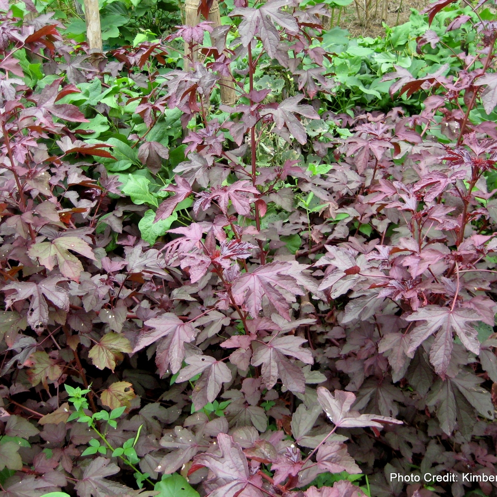 Cranberry  Hibiscus , Hibiscus  acetosella ,