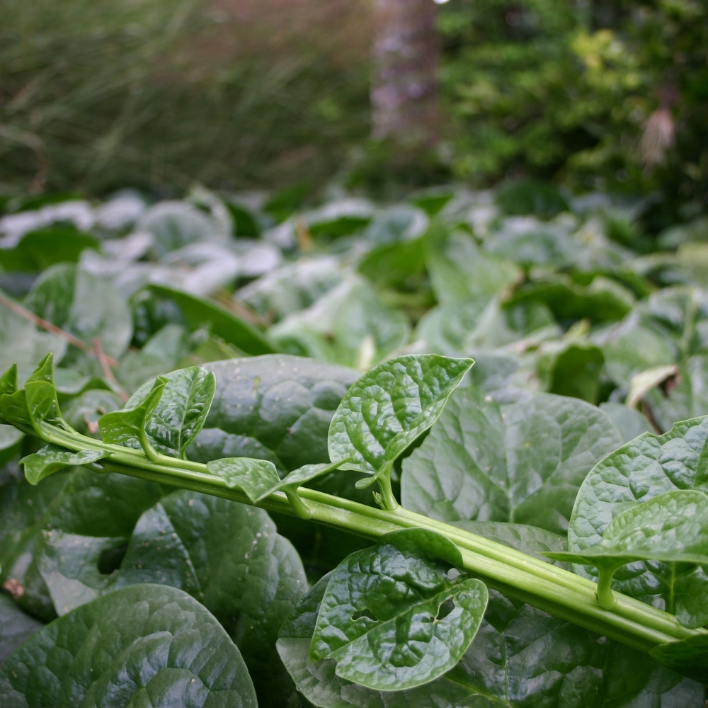Malabar    spinach  ,  Basella    alba