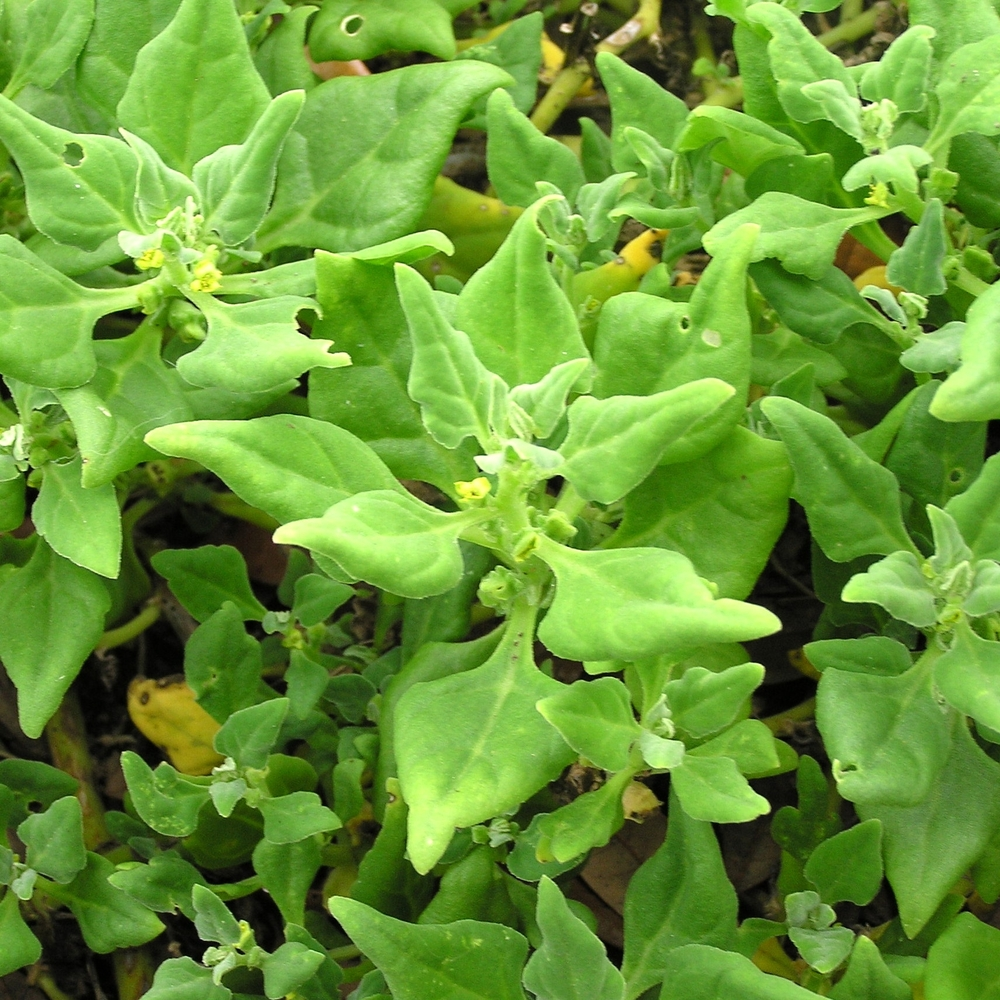New Zealand spinach, Tetragonia tetragonioides