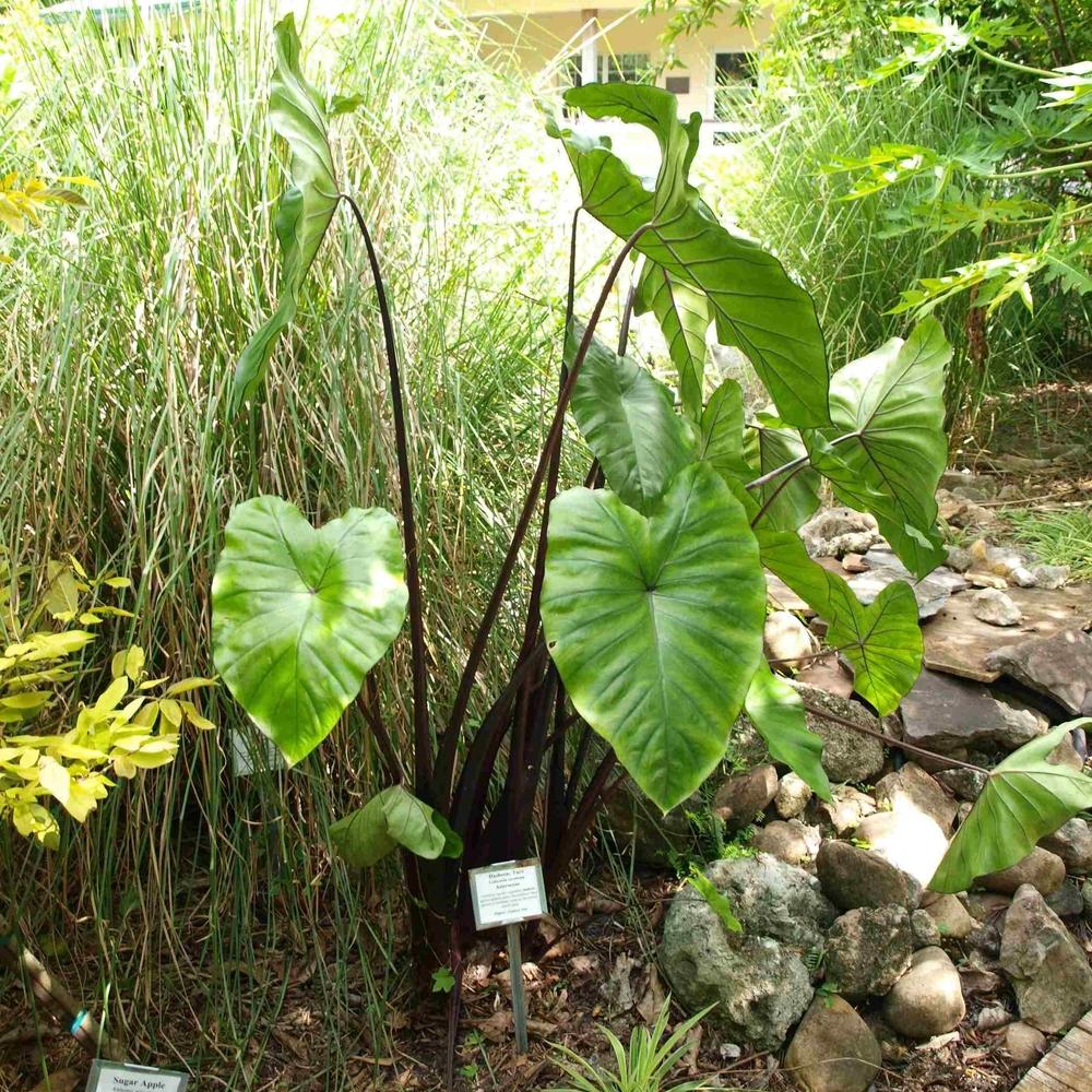 Taro, Dasheen,Colocasia esculenta