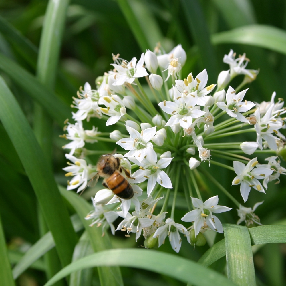 Garlic   Chives ,  Allium tuberosum