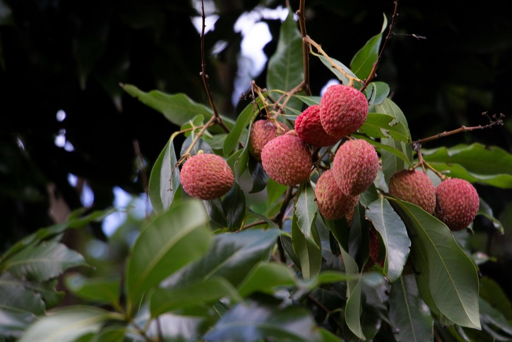 lychee tree.jpg