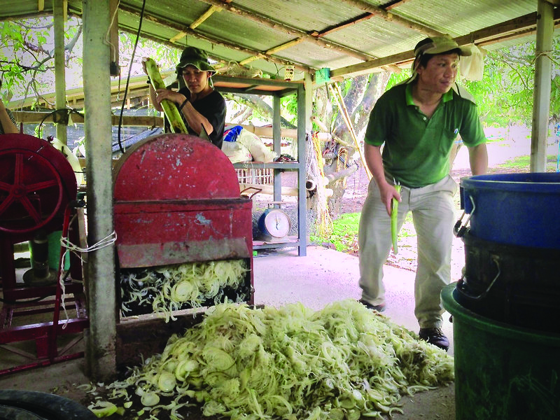 ECHO Staff members Sombat and Boonsong making pig feed from banana stalks in Thailand.