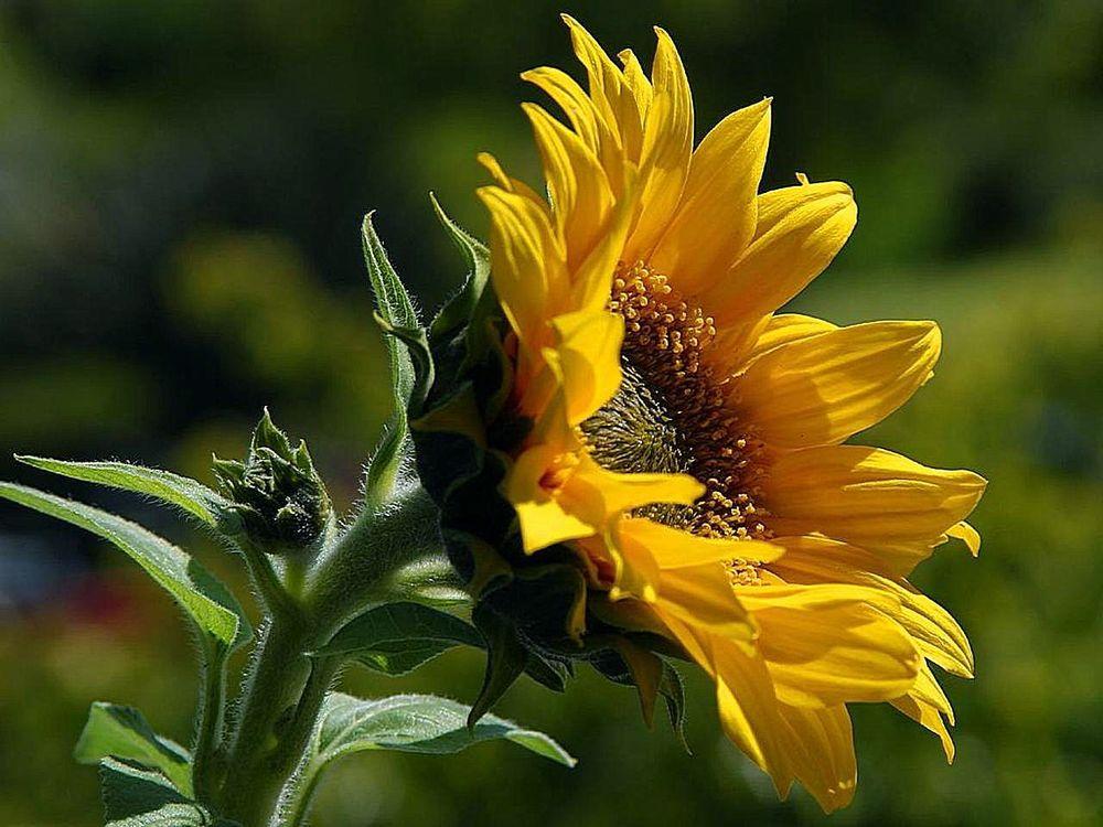 sunflowers-petals-pollen-yellow.jpg